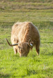 A scottish highland cow. A highland cow grazing in a field Royalty Free Stock Images