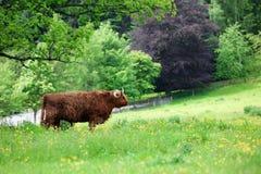 Scottish highland cow Royalty Free Stock Images