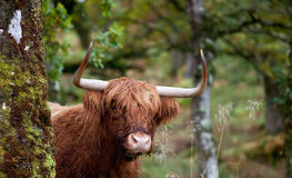 Scottish Highland cow Stock Photos