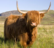 Scottish highland cow. On the Isle of Skye royalty free stock image