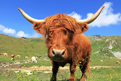A Scottish highland cow. In the alps Royalty Free Stock Images