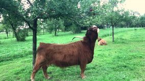 Scottish highland cow at apple tree stock video