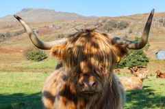 Scottish Highland Cow. With big horn portrait Royalty Free Stock Images