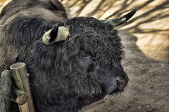 Scottish Highland bue. Scottish Highland cow with black hair thick Stock Photos