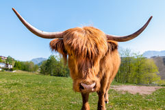 Scottish Highland Cow Royalty Free Stock Image