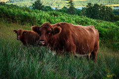 Scottish highland cow and calf on hillside Stock Image
