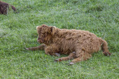 Scottish highland cow calf Royalty Free Stock Photo