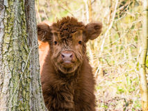 Scottish highland cow calf Stock Photography