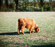 Scottish highland cow Stock Images