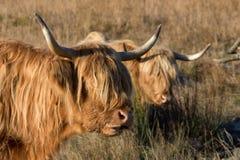 Scottish Highland Cow Royalty Free Stock Photography