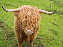 Scottish highland cow Royalty Free Stock Photo