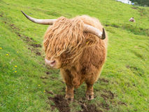 Scottish highland cow Royalty Free Stock Image