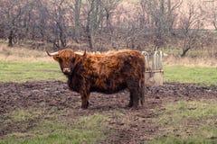 Scottish highland cow at a farm Royalty Free Stock Photo