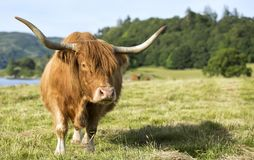 Scottish highland cow in field. Highland cattle. Scotland. Stock Photography