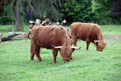 Scottish highland cow Stock Photo