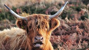 Scottish Highland cow laying down in grassy moorland stock images