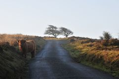 Scottish Highland cow on moorland at the side of a country lane royalty free stock image