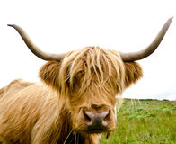 Scottish highland cow. Near Loch Katrine Royalty Free Stock Photos