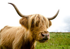 Scottish highland cow. Near Loch Katrine Stock Photos