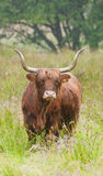 A scottish highland cow out on the moor. A rain sodden highland cow on a misty moor Stock Images