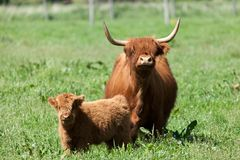 Scottish highland cow over green grass Stock Images