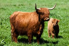 Scottish highland cow over green grass Royalty Free Stock Image