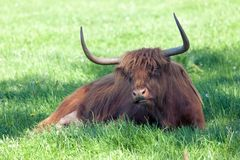 Scottish highland cow over green grass Royalty Free Stock Images