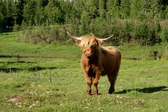 Scottish Highland cow on pasture Stock Photo