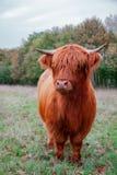 Scottish Highland Cow stock photography