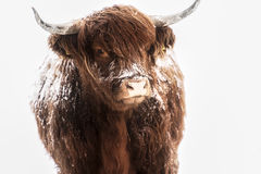 Scottish highland cow in snow Royalty Free Stock Image