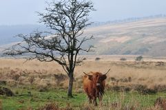 Scottish Highland cow standing next to a tree royalty free stock images