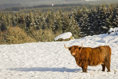 A scottish highland cow standing in the snow with woodland behind. A scottish highland cow in winter sanding in the snow in a scottish scenery Royalty Free Stock Photo