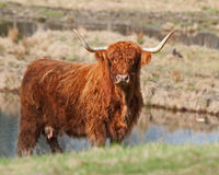 Scottish highland Cow in Sweden in sun Stock Images