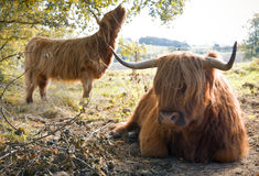 Scottish highland cows Stock Photo