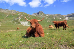 Scottish highland cows Royalty Free Stock Photo