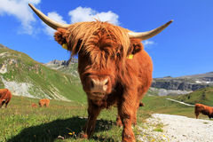 Scottish highland cows Royalty Free Stock Images