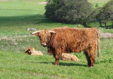 Scottish Highland Cows and Calf Stock Images