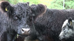 Scottish highland cows stock footage