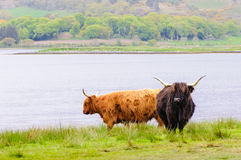Scottish Highland Cows Stock Photos