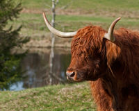 Scottish highland Cows head Stock Photo