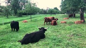 Scottish highland cows stock video footage