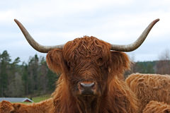 Scottish highland Cows with large horns Royalty Free Stock Images