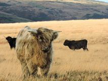 Highland cows on moorland in sunshine stock images