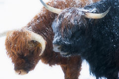 Scottish highland cows standing in snow Stock Photo