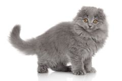 Scottish Highland fold kitten Royalty Free Stock Images