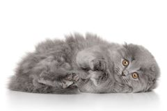 Scottish Highland fold kitten. Portrait on white background Stock Image