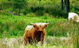 Scottish Highland Hairy Cow. Looking at camera with the eye covered by its hair in a open field Stock Photography