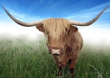 Scottish Highland Hairy Cow Royalty Free Stock Photo