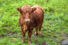 Scottish Highland Red Calf. At Lake District Royalty Free Stock Photography