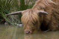 Scottish Highlander. Drinks from plas on the Veluwe, Netherlands Royalty Free Stock Image